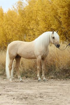 Palomino Arabian- A palomino horse has a cream to golden colored coat and a white mane and tail. The skin is dark gray, black or brown. The eyes are black, hazel or brown. They can have markings on their head and/or legs. A famous palomino horse is Roy Roger's horse, Trigger.