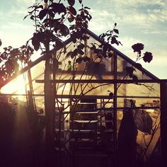 Late sunshine through the allotment greenhouse.