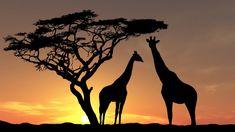❝ Las jirafas, víctimas de la extinción ❞ ↪ Vía: Entretenimiento y Tecnología en proZesa