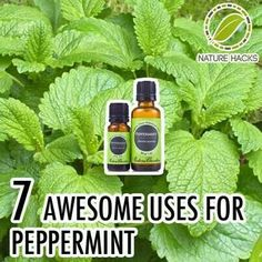 ❤ 7 Awesome Uses Of Peppermint For Beauty, Health and Natural Remedies ❤ AND it keeps mice away from your home! Essential Oil Uses, Doterra Essential Oils, Young Living Essential Oils, Natural Health Remedies, Herbal Remedies, Home Remedies, Healing Herbs, Natural Healing, Natural Medicine