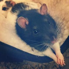 Reminds me of Miracle 👼 Funny Rats, Cute Rats, Animals And Pets, Baby Animals, Funny Animals, Dumbo Rat, Super Cute Animals, Rodents, My Animal