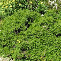 Twin Peaks Coyote Bush - Baccharis pilularis 'Twin Peaks' | groundcover/sub-shrub | 2' H x 6'-8' W | effective for slope stabilization | allow room to spread | full sun to part shade | low water use