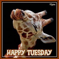 Happy Tuesday Girrafe