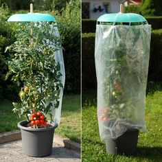 Tomato and pepper plants love a safe and bright location. The so important protection against rain or hail offers your plants Tomato and pepper plants love a safe and bright location. The so important protection against rain or hail offers your plants Garden Beds, Garden Plants, Pepper Plants, Flower Garden Design, Vegetable Garden Design, Plantation, Edible Garden, Growing Vegetables, Growing Tomatoes
