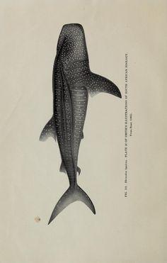 1915 whale shark (Rhineodon typhus Smith). - Biodiversity Heritage Library