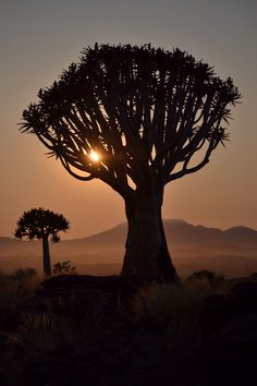Quiver tree at sunset      Quiver Tree Dawn (Kokerboom) - Valley of 1,000 Hills, Namibia