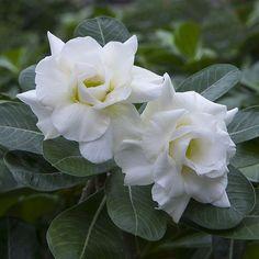 Desert Rose 'Snow White' (Adenium obesum hybrid) - learn about this lovely flower. Rare Flowers, Exotic Flowers, White Flowers, Beautiful Flowers, Beautiful Beautiful, White Roses, Large Succulent Plants, Planting Succulents, Planting Flowers