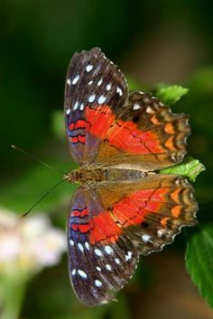 The Scarlet Peacock (Anartia amathea)  is a common and very beautiful species which is found on both sides of the Andes, from Colombia to northern Chile. Its ubiquitous nature and contiguous populations result in regular exchange of genetic material, so no subspecies have yet evolved, and there is very little variation in markings between individuals.