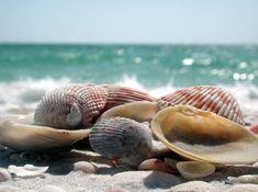 imagenes de conchas de mar - Google Search