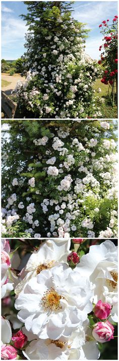 Cool Mit der Ramblerrose Paul us Himalayan Musk l sst sich der Garten in wenigen Monaten in eine bl hende Oase verwandeln Die Ramblerrose geh rt zu einer neuen