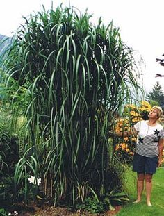 Miscanthus giganteus - Giant Chinese Silver Grass to Zone 4 Ideal conditions: full sun; tolerates a wide range of soil types; holds up to wind and snow Privacy Landscaping, Backyard Privacy, Landscaping Ideas, Outdoor Plants, Outdoor Gardens, Fountain Grass, Garden Shrubs, Ornamental Grasses, Tall Grasses