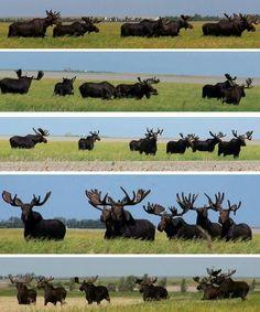 Moose - Canada