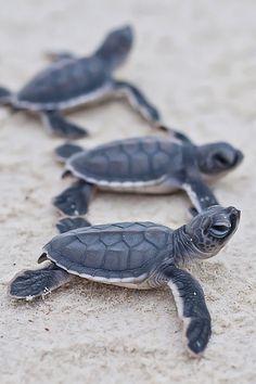 hermosas tortugas