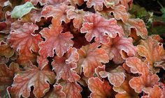 Heuchera 'Peach Flambe', Coral Bells 'Peach Flambe', Alum Root 'Peach Flambe', Coral Flower 'Peach Flambe', Shade plants, Evergreen plants