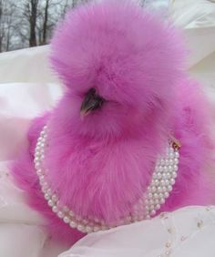 Fabulous Pink Fluffy Chicken draped in Pearls - Modern Pretty Birds, Beautiful Birds, Animals Beautiful, Silkie Chickens, Chickens And Roosters, Fancy Chickens, Chickens Backyard, Farm Animals, Animals And Pets