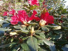 22.4.2015 Rododendron BadenBaden