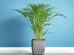 Aranypálma – gondozása, szaporítása, betegségei, virágzása Areca Palm Care, Areca Palm Plant, Spider Mites, Sun Loving Plants, Neem Oil, Yellow Leaves, Propagation, Low Lights, Plant Care