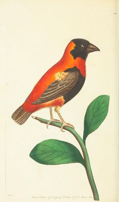 Grenadier Grosbeak - v.7 - The naturalist's miscellany, or Coloured figures of natural objects - Biodiversity Heritage Library