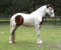 A Drum Horse is not a breed, its a breed type.