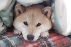 This pup is so adorable....  Facebook.com/marustagram