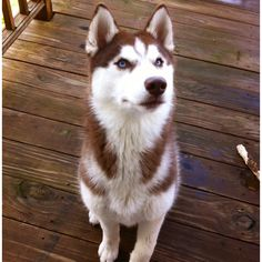 I love my Siberian husky so much <3 such a pretty picture of her!