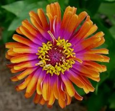 It can be fun to breed your own zinnias - Part 16 - Annuals Forum - GardenWeb