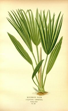 Favourite flowers of garden and greenhouse /by Edward Step   Vol. 4 1897   Bourbon Palm