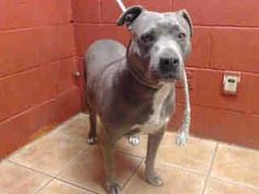 OWNER SURRENDER, ALREADY SPAYED 7 YEAR FEMALE PIT BULL NEEDS PLEDGES FOR HER RESCUE! A4800758 My name is Caprice and I'm an approximately 7 year old female pit bull. I am already spayed. I have been at the Downey Animal Care Center since February 15, 2015. I am available on February 15, 2015. You can visit me at my temporary home at D529. https://www.facebook.com/photo.php?fbid=815726868507647&set=pb.100002110236304.-2207520000.1424181950.&type=3&theater