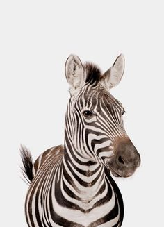 « Zebra » par Paws & Claws | #Animaux #Zèbres #Artpourenfants #Animauxsauvages #Blanc #Noir #JUNIQE | Plus daffiches sur www.juniqe.fr Zebra Nursery, Nursery Art, Paws And Claws, Zebras, Pencil Drawings, Art For Kids, Giraffe, Poster, Portrait