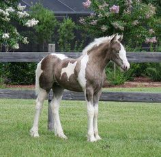 Chantilly Lace - Gypsy Vanner Austin filly