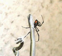 An office receptionist got a nasty shock when she found a 70cm long snake entangled in the web of a deadly Redback Spider. Tania Robertson, a receptionist at an electrical firm, came in to work on Tuesday and spotted the dramatic scene next to a desk in her office. The snake, which had obviously died from the spider's poisonous bite, was off the ground and caught up in the web.