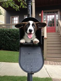 """You've got mail! Gambit, attempting the classic """"corgi in a mailbox"""" pose. Submitted by Tricia"""