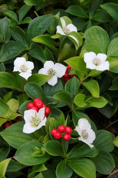"""Bunchberry: the smallest dogwood - medicinal - 8"""" high - takes shade, likes acid soil - plant under blueberries to provide calcium"""