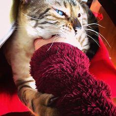 """大好きなママをガブリっ😼 興奮して髭が広がっています〜 という事で、#髭祭 参加さて下さいね〜😽 """"I love mama so much💕  So I just wanna bite you😼"""" by Yuki  #今日のゆき2017年 #todaysyuki2017  #愛猫 #スノーベンガルゆき #ベンガル #ベンガル猫 #猫 #ねこ #にゃんこ #にゃんすたぐらむ #可愛い #ブルーアイ #豹猫 #綺麗  #mycat #bengalyuki #snowbengal #bengal #bengalcat #cat #catsofinstagram #catlover #ilovemycat #cutecat #beautiful #blueeyes"""