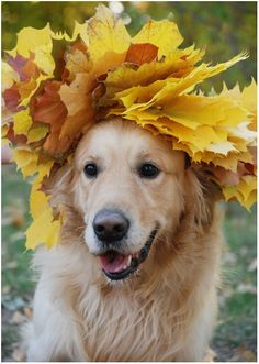 mostly dogs mostly Golden Retrievers, Chien Golden Retriever, Cute Puppies, Cute Dogs, Dogs And Puppies, Doggies, Animals And Pets, Funny Animals, Cute Animals
