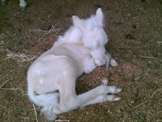 Cremello Colt my buckskin mare foaled two Cremellos like the one in this photo. Such beauties. (At different times. Most Beautiful Horses, Pretty Horses, Beautiful Babies, Amazing Animals, Animals Beautiful, Cute Baby Animals, Animals And Pets, Albino Horse, Rare Albino Animals