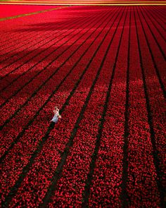 "If I should name this photo, it would be ""A million red tulips ❤️.⁣ ⁣ We found this marvelous field of red tulips somewhere between… Tulip Fields Netherlands, Red Tulips, Nature Adventure, Bulb Flowers, Foto Pose, Best Places To Travel, Travel Photography, Red Photography, Amazing Photography"