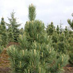 Pinus cembra ' Silver Sheen ' Blue Green Swiss Stone Pine
