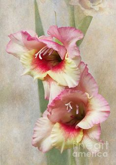 Title  Gladiola   Artist  Angie Vogel   Medium  Photograph - Photography / Digital Art
