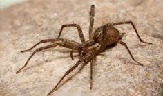 Spearhead pest control is pest removal service provider. And the spider is a pest which can give a nasty venomous bite. If you require help regarding spider pest control. Talk to us we are professionals in pest control. Spider Bites, Pest Control Services, Insects, Spiders, Animals, Google, Animales, Animaux, Spider