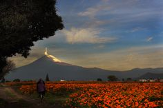 Popocatepetl, smoking this morning, and Cempazuchitl (mexican flowers) field, ready to cut