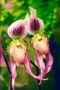 Ladyslipper orchid stunning