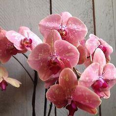 phalaenopsis wild peaches | Hybride-bluehfaehige-Phalaenopsis-Orchidee-Wild-Peach-12-cm