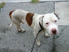 Brooklyn Center   SAM - A1010568  ***DOH HOLD 8/14/14***  MALE, WHITE / BROWN, PIT BULL MIX, 1 yr STRAY - ONHOLDHERE, HOLD FOR DOH-NHB Reason STRAY  Intake condition EXAM REQ Intake Date 08/14/2014, From NY 11236, DueOut Date 08/17/2014,   https://www.facebook.com/photo.php?fbid=866202700059277