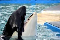 The orca Lolita has had no contact with another member of her species since her tankmate Hugo's apparent suicide in 1980. PETA plans to change that.
