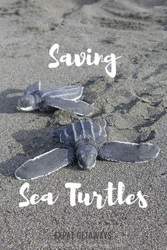 Saving sea turtles in Costa Rica was a life changing experience for me. I love marine life and eco tourism to I was very excited to have the chance again, this time in Sri Lanka with my husband!