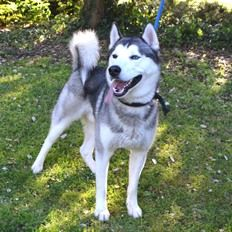 Shiloh is a male, 1-2 year old Siberian Husky at Battersea Dogs and Cats Home, Old Windsor