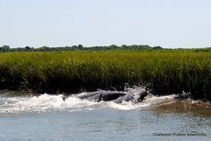 Dolphin Tours Charleston, SC #CharlestonHarbor #CharlestonHarborTours #rent #FishingCharters #InshoreFishing #FishingTours #FishingGuides #DolphinTours #Ecotours #Dolphin #chartertour #kayak #lighthouse #rental #tour #kayaking #Charleston #SC #SouthCarolina #BowensIsland #Sunset #estuary #boat #rent #MorrisIslandLighthouseTour #CharteredTours #EcoTours #BoatTours #Charleston #adventure #vacation #destination #SunsetBoating #SunsetCruise #DolphinTour