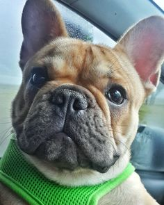 """""""Come on, hooman! Let's get back to play time."""" - Benji the Frenchie #Throwback to that time Benji pulled the most adorable face! We were out on an adventure, practising recall at the Sea Point Promenade, when it started absolutely bucketing down with rain. So poor Master Benji was rushed back to the warmth of the car where he was showered with cuddles and snuggles. But the moment he felt warm enough, he glanced up and gave this look, as if to say: """"Okay, I'm ready to get back out there…"""