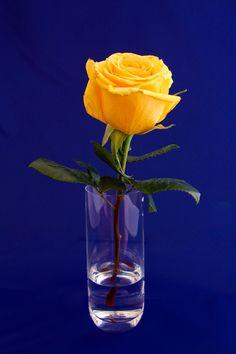 Yellow Rose by David Diaz.